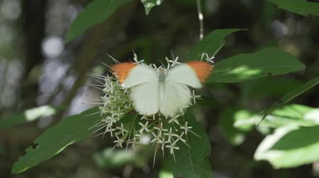 ipuçları : Great Orange Tip butterfly Hebomoia Glaucippe in Thailand - video in slow motion Stok Video