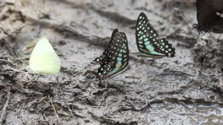 insetos : Crowded of the colorful butterflies are eating essential mineral in the tropical rain forest - video in slow motion