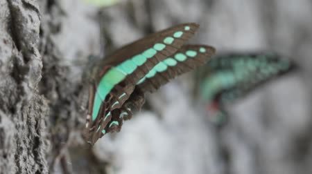 mob : Crowded of the colorful butterflies are eating essential mineral in the tropical rain forest - video in slow motion