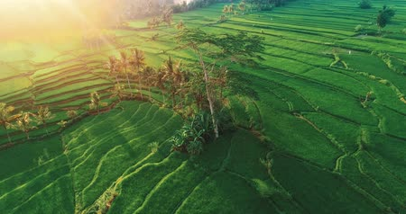 zumbido : Aerial drone view of beautiful rice fields in Bali during sunset, Indonesia