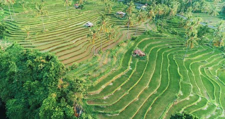 zumbido : Aerial drone view of beautiful rice terraces on the island of Bali during sunny summer day, Indonesia Vídeos