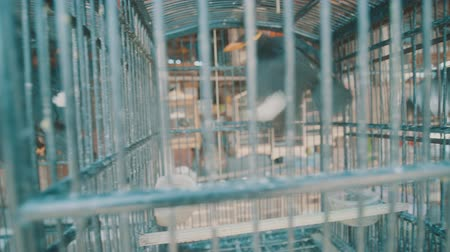 jailed : Video of common Hill Myna bird in cage on the traditonal market in Bali, Indonesia