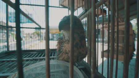 sas : Video of small brown bird in the cage on the traditional market in Bali, Indonesia