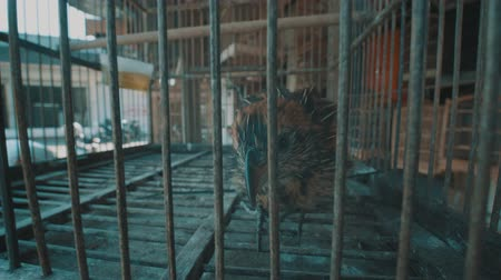 jailed : Video of small brown bird in the cage on the traditional market in Bali, Indonesia