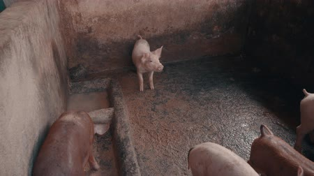 piglet : Group of pigs in free-range farm in Bali, Indonesia