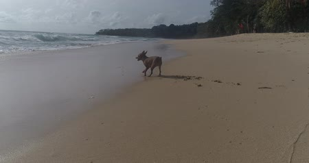 pincher : Happy cute miniature pinscher playing on the tropical sandy beach during sunny summer day
