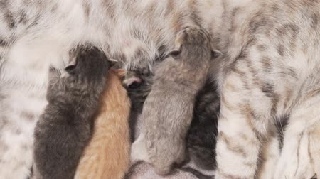 bichano : Closeup mother cat feeding her newborn four cute kittens Vídeos