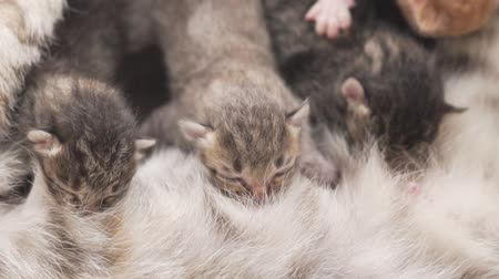 bichano : Closeup mother cat feeding her newborn four cute kittens Stock Footage