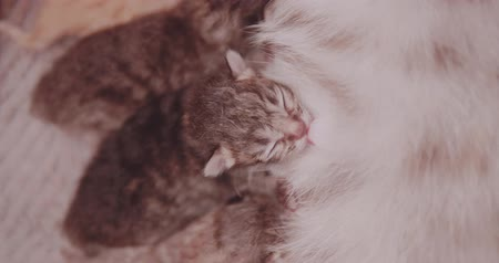 крошечный : Closeup mother cat feeding her newborn four cute kittens Стоковые видеозаписи