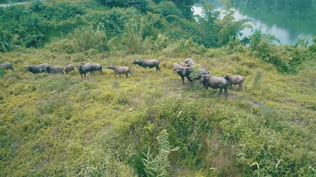 znicz : Aerial view of buffalo herd at riverside in beautiful green Chiang Rai area, Thailand Wideo