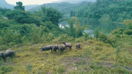 zumbido : Aerial view of buffalo herd at riverside in beautiful green Chiang Rai area, Thailand Vídeos