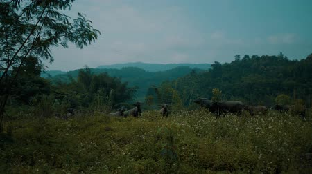 búfalo : Buffalo herd at riverside in beautiful green Chiang Rai area, Thailand