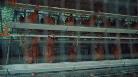 madárinfluenza : Closeup of chickens in the cages on the market. Agricultural business concept