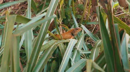 доисторический : Small wild lizard on a green grass in Phuket, Thailand