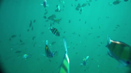 aqueous : A shoal of Sergeant Major fish underwater in the Andaman sea, Thailand Stock Footage