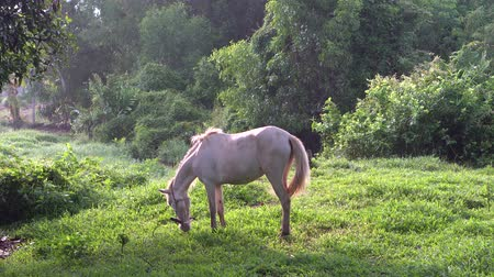 konie : Beautiful white horse eating at small field in Thailand