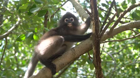 monkey : Beautiful Dusky Leaf Monkey sitting, jumping on the tree. Wildlife in Thailand