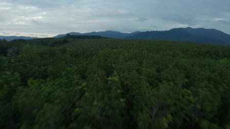 anten : Aerial drone view of tropical rubber forest during early cloudy sunset