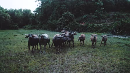 cow flies : Aerial drone view of buffalo herd at riverside in Thailand