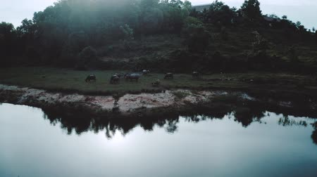 búfalo : Aerial drone view of buffalo herd at riverside in Thailand