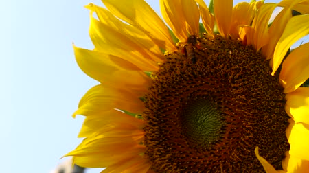 beporzás : Field of yellow sunflower Stock mozgókép