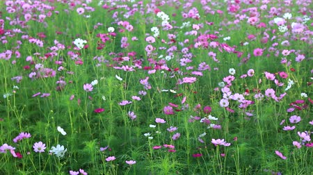 невозделанный : Beautiful cosmos flowers swaying in the breeze