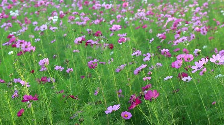 inculto : Beautiful cosmos flowers swaying in the breeze