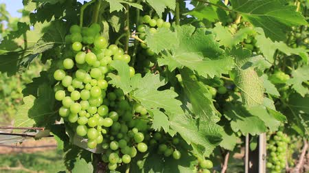 winemaking : Ripe green organic grapes and grapevine leaves growing in vineyard farm Stock Footage