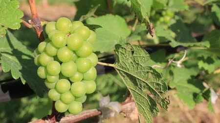 Ripe green organic grapes and grapevine leaves growing in vineyard farm Стоковые видеозаписи