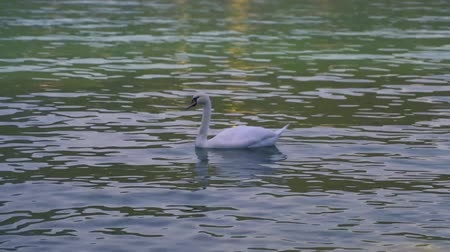 husy : white swan in the green blue lake