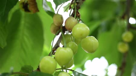 еще : Fresh cherries growing on a summers day in an orchard still developing and yet to turn bright red
