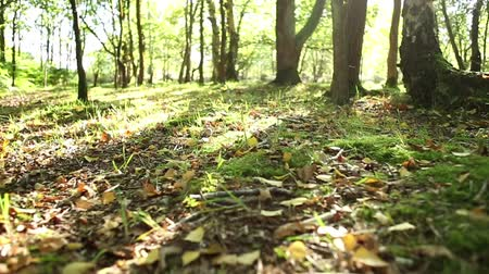 rotaları : Moving through trees and dried leaves though a sun drenched forest floor in summer