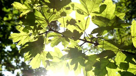 ascetic : Bright sunshine streaming through leaves on a tree early on a Summers morning