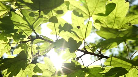 át : Bright sunshine streaming through leaves on a tree early on a Summers morning