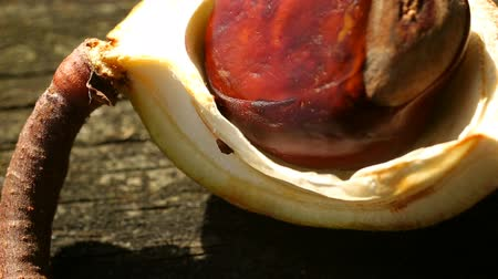 dřeň : Macro panning over a conker in its case from a Horse Chestnut tree