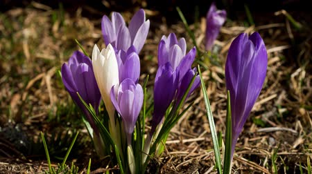 цветение : Time lapse.White crocus in a bunch of violet crocuses blooming. Стоковые видеозаписи