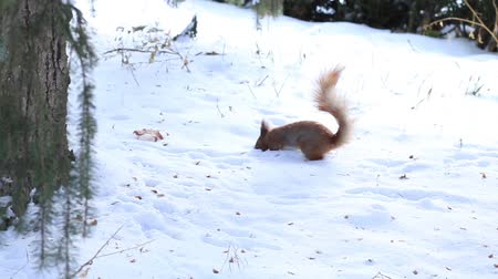 chipmunk : Little squirrel running on snow in winter forest