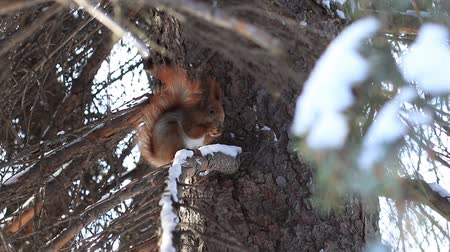avelã : Red squirrel eating pine tree seeds in winter