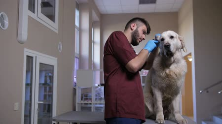 ear infection : Veterinarian examining dogs ear with otoscope Stock Footage
