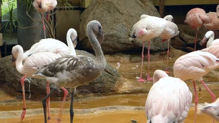 flamingi : Gray flamingo among pink one