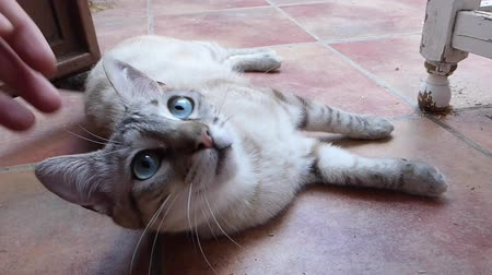 ronronar : ,Blonde cat with blue eyes resting and getting stroked - pet love
