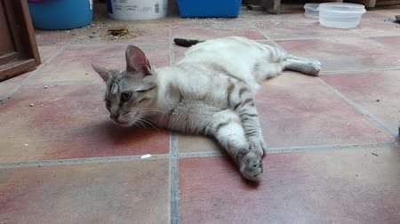 ronronar : ,Blonde cat with blue eyes resting
