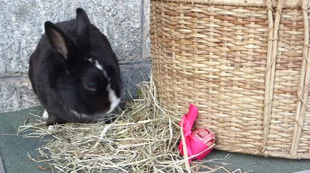 hare : Cute black rabbit sniffs and sits on hay next to a Easter egg and a hamper