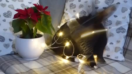 black and red : Cute rabbit gets agressive with fairy lights and a human stops it Stock Footage