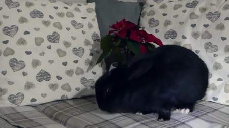 rabbit ears : Cute black rabbit sits in front of a winter rose on a modern couch under turning light