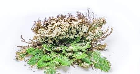 tornar : Bare Rose of Jericho in Blooming, 45K timelapse video, timlapse