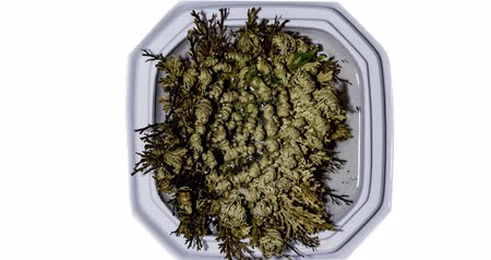 tornar : bogus Rose of Jericho in bloom, timelapse video, timlapse