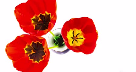 floweret : Tulips open and close in timelapse time-lapse video. Stock Footage