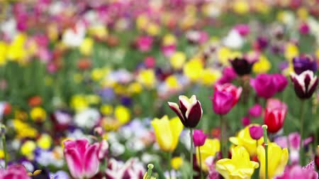 tulipany : Panning over many colorful tulips and flowers in a spring garden