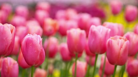 ogród : Many pink tulips moving gently in the wind in spring